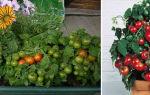 Выращиваем помидоры черри на балконе: полезные советы