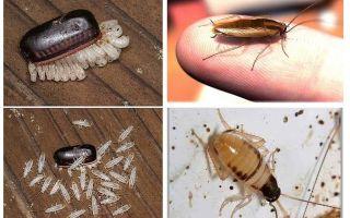Как вывести тараканов из квартиры?