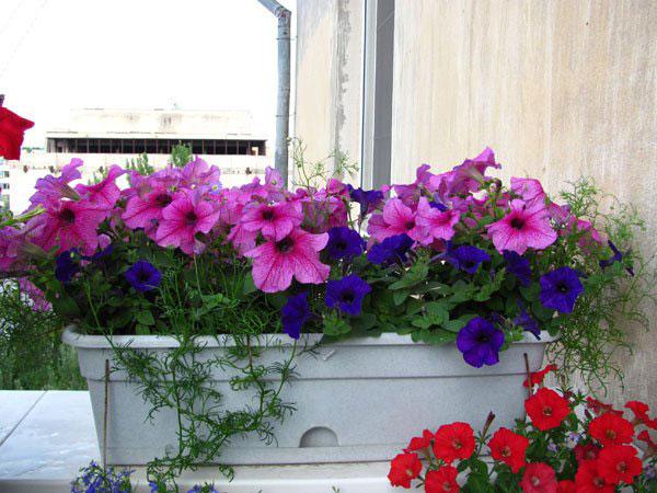 петуния цветы выращивание и уход в горшках